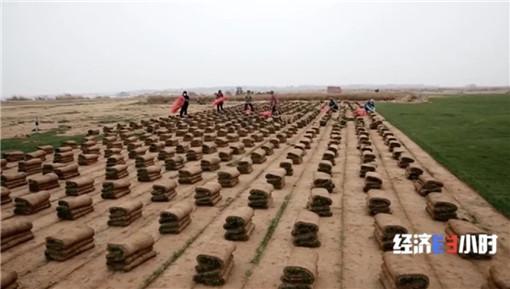 村民打包草皮賺錢-土流網